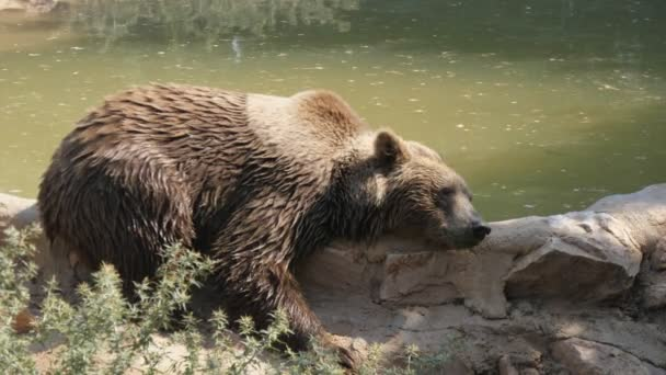 Wet big brown bear lying and sleeping on a pond bank on a sunny day in summer         Amazing view of a large brown bear lying and sleeping on a pond bank in a zoo on a sunny day in summer. He sleeps and dreams about honey and a wild forest