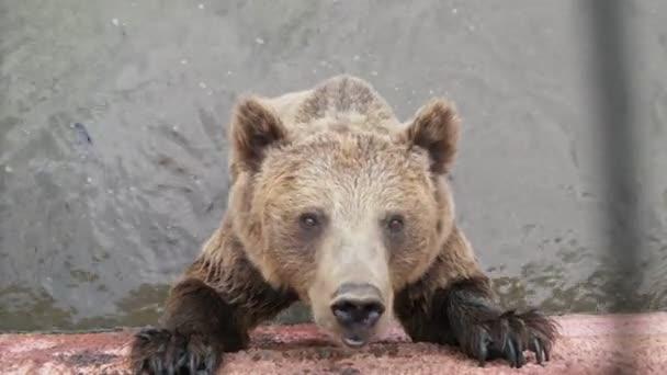 Velký hnědý medvěd stojí v bazénu a v létě si chytá chleba v zoo vzrušující pohled na aktivního hnědého medvěda, který stojí v bazénu a za slunného dne v létě chytne kus chleba vesele. Vypadá směšně a aktivně.