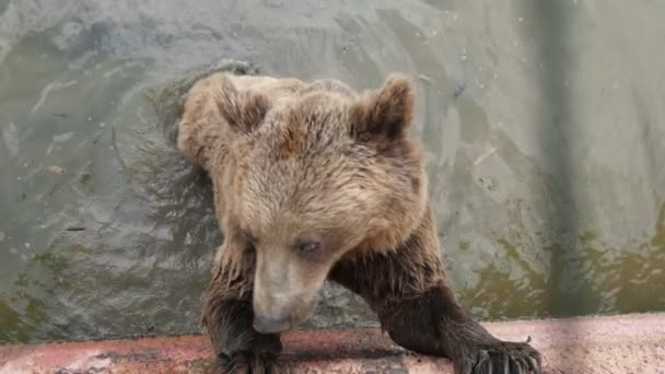 Large brown bear standing in a pool and catching thrown food in a zoo in slo-mo        Humorous view of a big brown bear standing in a pool and catching a thrown piece of bread cheerfully on a sunny day in summer in slow motion. it looks funny.