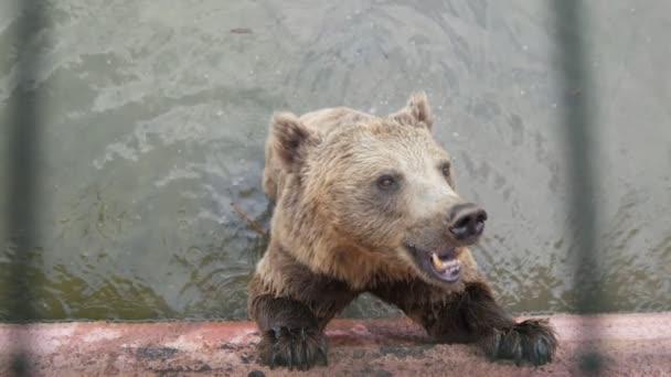 Nagy barna medve áll egy medencében, és eszik valamit az állatkertben lassítva vicces kilátás egy nagy barna medve áll a medencében, és eszik valamit vidáman egy napsütéses napon nyáron lassítva. úgy néz ki, vidám és inspiráló.