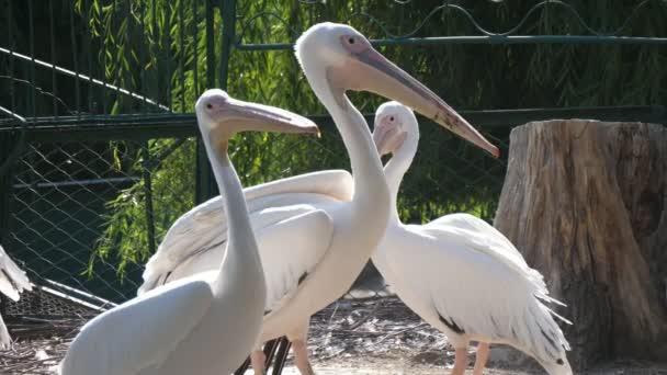 Eine Gruppe weißer Flamingos, die an einem sonnigen Tag in einem Zoo stehen und sich umschauen Wunderbare Aussicht auf drei wunderschöne Vögel mit langen Hälsen und Pickeln, die sich umsehen und ihr Leben in einem grünen Zoogelände mit Zaun an einem sonnigen Tag genießen.