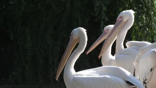 Bande weißer Flamingos, die im Sommer auf der Suche nach Beute im Zoogebiet stehen. Auffälliger Blick auf fünf weiße Flamingos, die an sonnigen Sommertagen in einem grünen Zoogelände mit Zaun ihre Beute suchen.