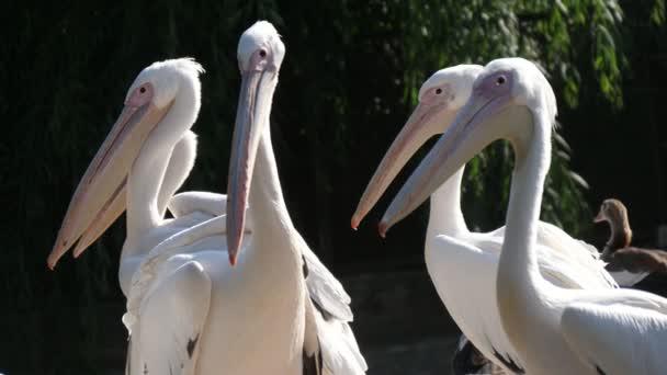 Fünf weiße Flamingos stehen und entspannen im Zoogebiet an einem sonnigen Tag im Sommer Lustiger Blick auf fünf weiße Flamingos stehen, sich umsehen und entspannen in einem grünen Zoogelände mit Zaun an einem sonnigen Sommertag. Sie sehen gut aus.