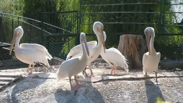 Ein Schwarm weißer Flamingos steht an einem sonnigen Tag im Sommer auf dem Zoogelände Spannender Blick auf fünf weiße Flamingos, die an einem sonnigen Sommertag in einem grünen Zoogelände mit Zaun stehen, plaudern und schütteln. Sie sehen lustig und fröhlich aus.