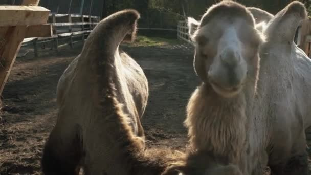 Two camel eat in slow motion
