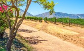 Photo Grape vine rows in a vineyard on a very hot summers day in Western Cape South Africa