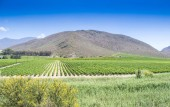 Photo Grape vine rows in a vineyard in the distance near Robinson in South Africa