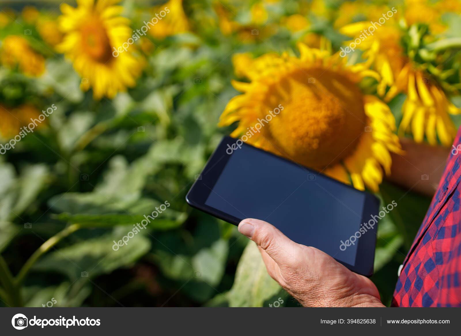 Tangan Petani Dengan Tablet Di Bidang Bunga Matahari Stok Foto C Alterphoto 394825638