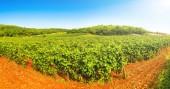 Fotografie Panorama révy na vinici na podzim. Vinné hrozny před sklizní. Italská vína