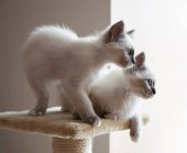 Portrait of two white long hair birman cats with blue eyes.