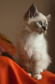 Portrait of white long hair birman cat with blue eyes.