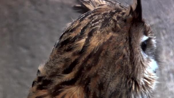 Közeli kép: egy eurázsiai uhuval néz a kamerába