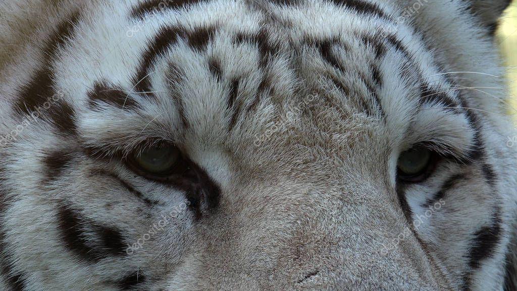 The Majestic White Tiger