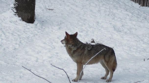Šedí vlci (Canis lupus; Linne, 1821) po obědě v lese se sněhem pokrytou půdou v zimě. pomalý pohyb, HD