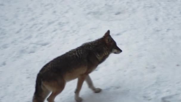 Gray wolves (Canis lupus;Linne, 1821) after lunch in a forest with snow-covered soil, in winter.slow motion, HD