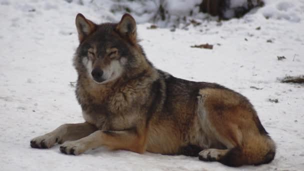 Szürke farkasok (Canis lupus; Linne, 1821) ebéd után a havas talajjal borított erdőben, télen. lassú mozgás, HD