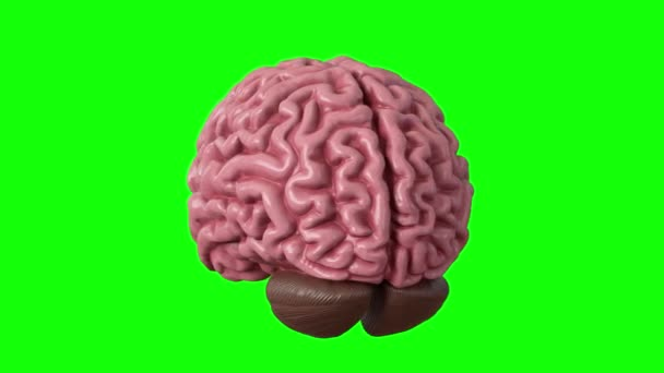 Human brain isolated on green background. Looped 3d render