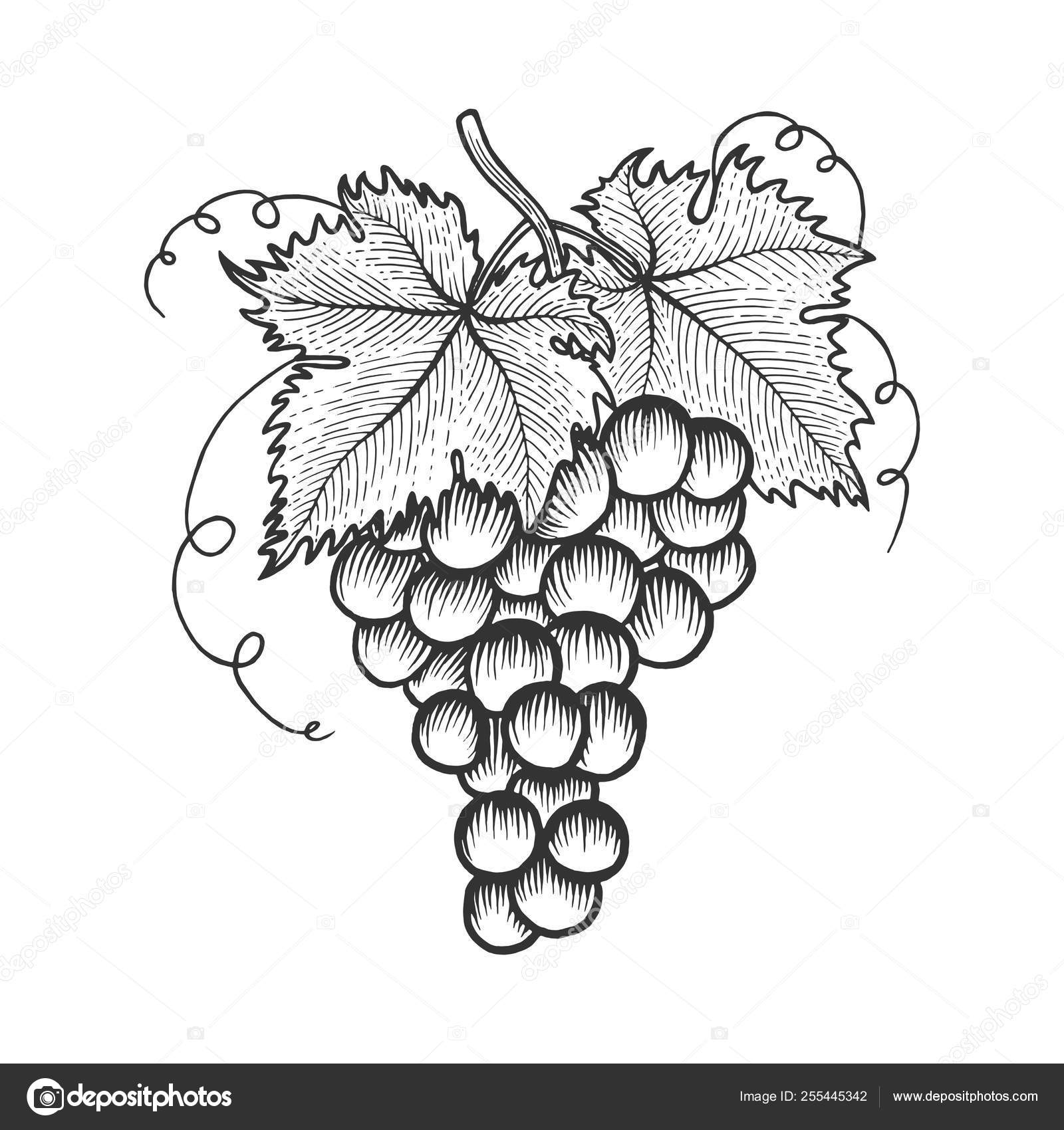 Bunch Of Grapes With Leaves Sketch Engraving Vector Illustration