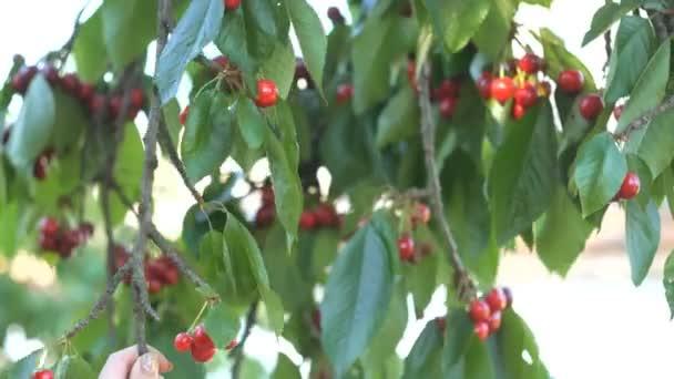Girls hand picking cherry from tree