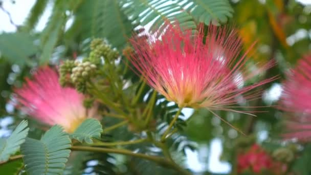 Tree branches with green leaves Albizia julibrissin, close up