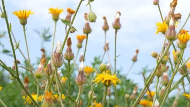 Krásné pole s žluté květy. Rostliny se pohybují ve větru. malá hloubka ostrosti.