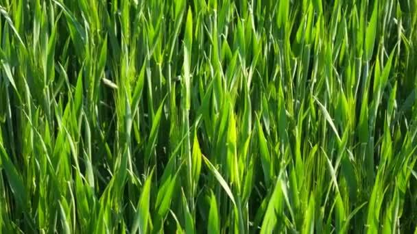 Grünes Feld des jungen Weizens. Weizenfeld. Der Frühling kommt an Land. junger grüner Weizen, der im Boden wächst. grüne Weizenkeime auf dem Feld. Weizen-Sämlinge wachsen auf der Wiese.