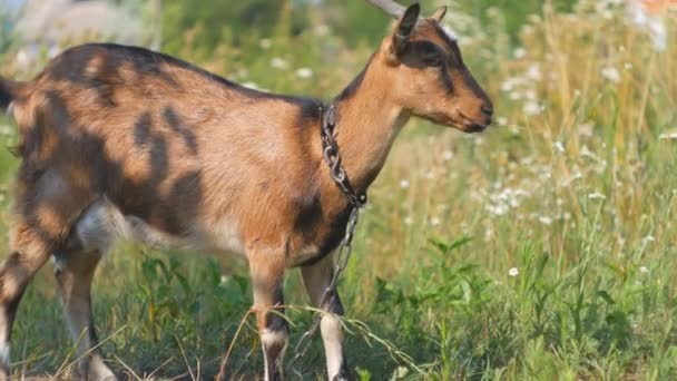 A brown and black female Goat twitching its ears happily while hungrily nibbling and eating green grass.