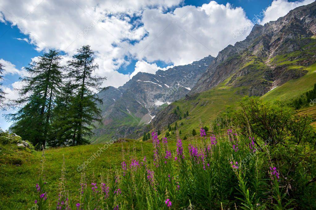 Alpine landscape with purple Epilobium flowers near Rhemes Notre Dame, Valle d'Aosta, Italy