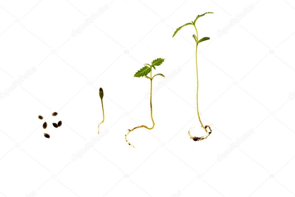 The Cannabis plant, Ganja
