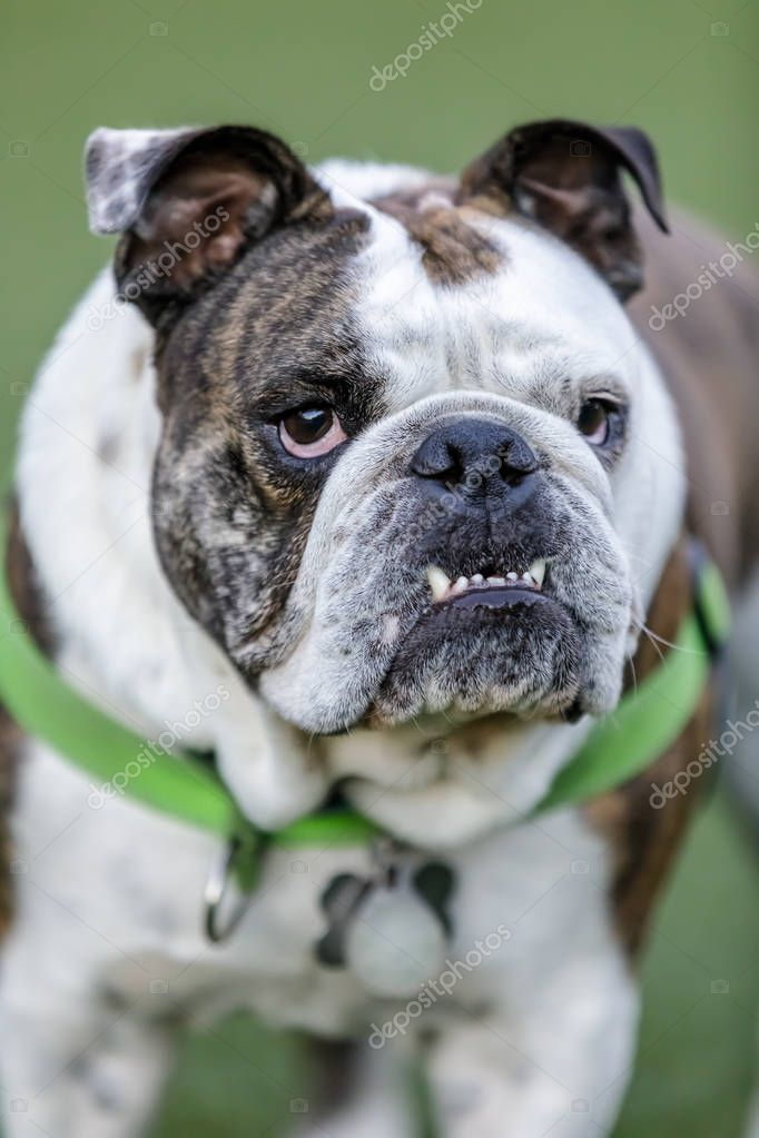 Brindle White English Bulldog Puppy Male Pronounced Bite Leash Dog