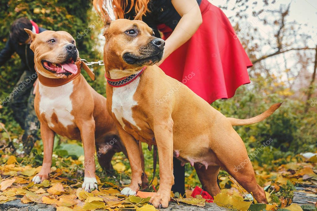 two Staffordshire terriers. Dogs in nature with the owner.