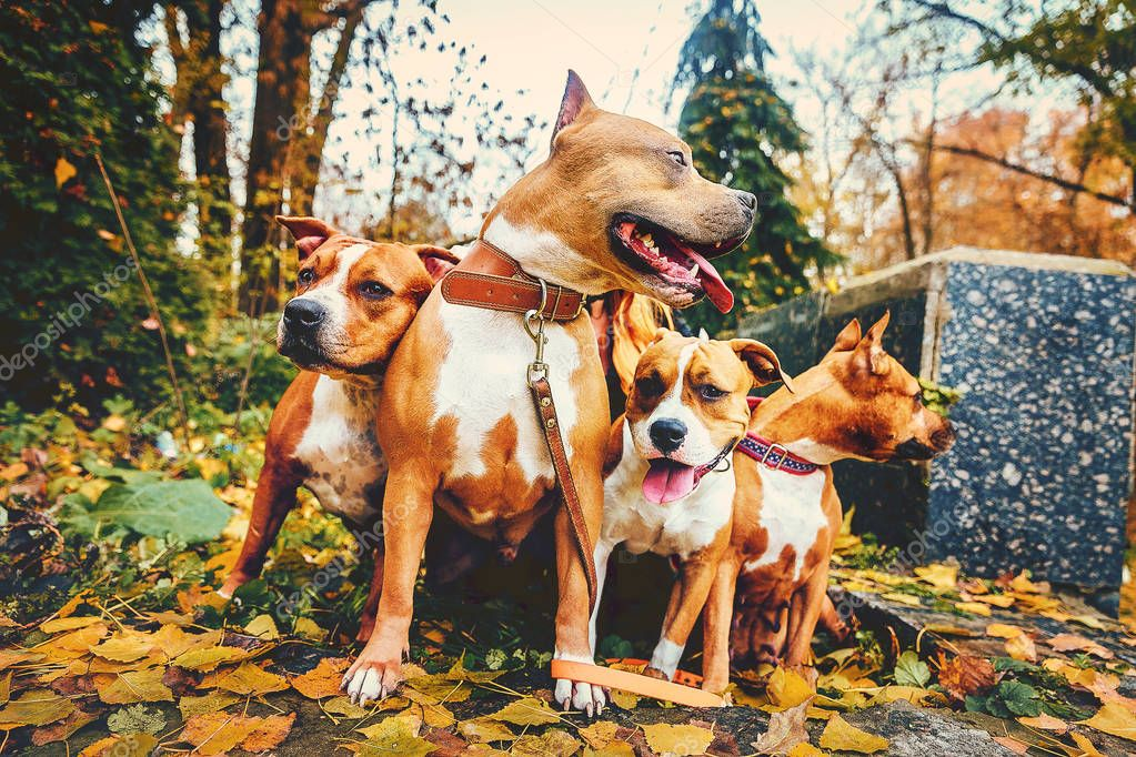 four staffordshire terriers. Family of four dogs sitting in nature in autumn.