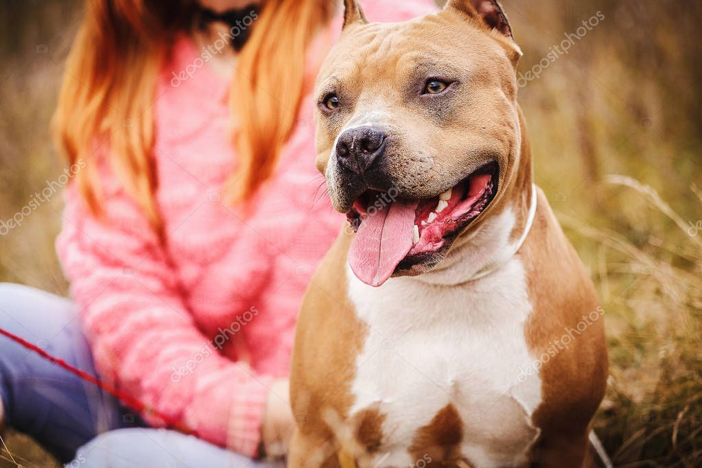 Staffordshire Terrier. the dog sits in nature in the fall.