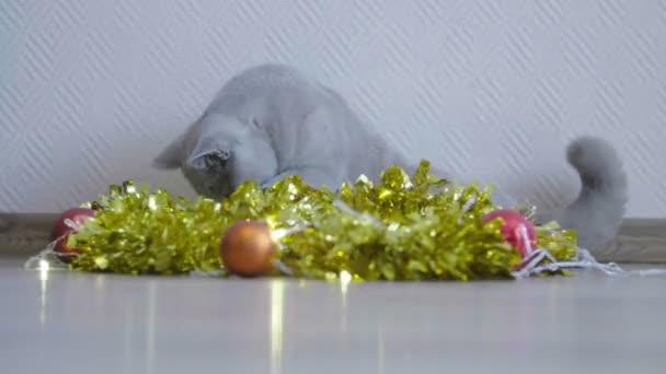 Macska játék Karácsonyi koszorú és talmi. Brit cica ünneplik a karácsonyt és új évet. Karácsonyi talmi és cica. Karácsonyi és újévi dekoráció.