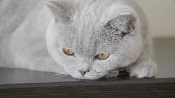 Nahaufnahme von Kätzchen mit großen orangefarbenen Augen, die auf einer dunklen Holzoberfläche liegen, schauen in die Kamera und lauschen den Geräuschen. britische Katze.