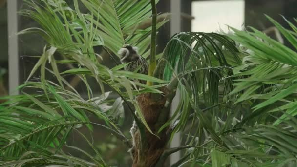 Small monkey in tropical background. Callitrichidae monkey.