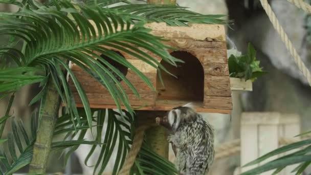 Malé opičky v tropických pozadí. Callitrichidae opice.