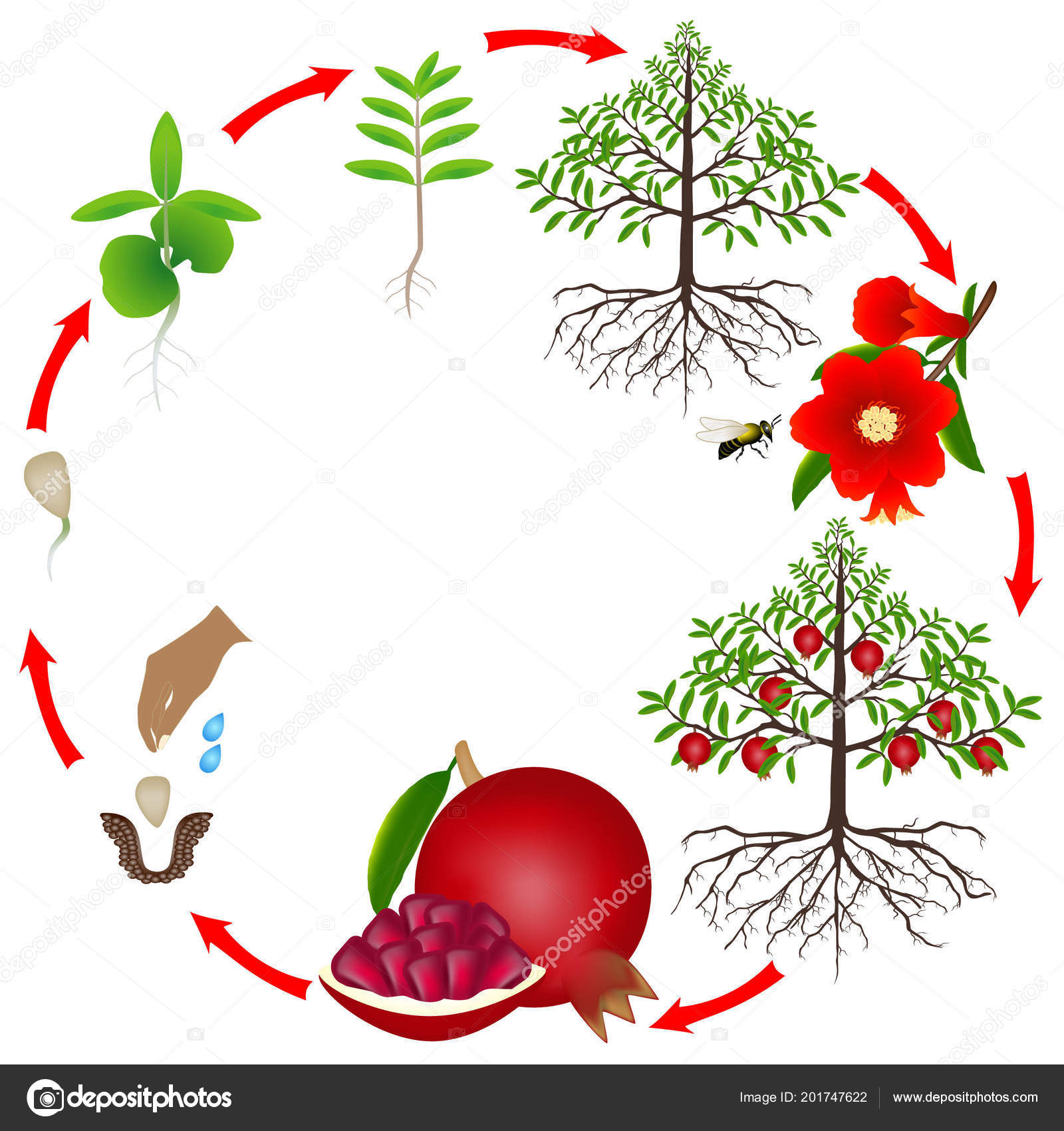 Life Cycle Pomegranate Tree White Background Vector Image By C Zaqzaq81 Vector Stock 201747622