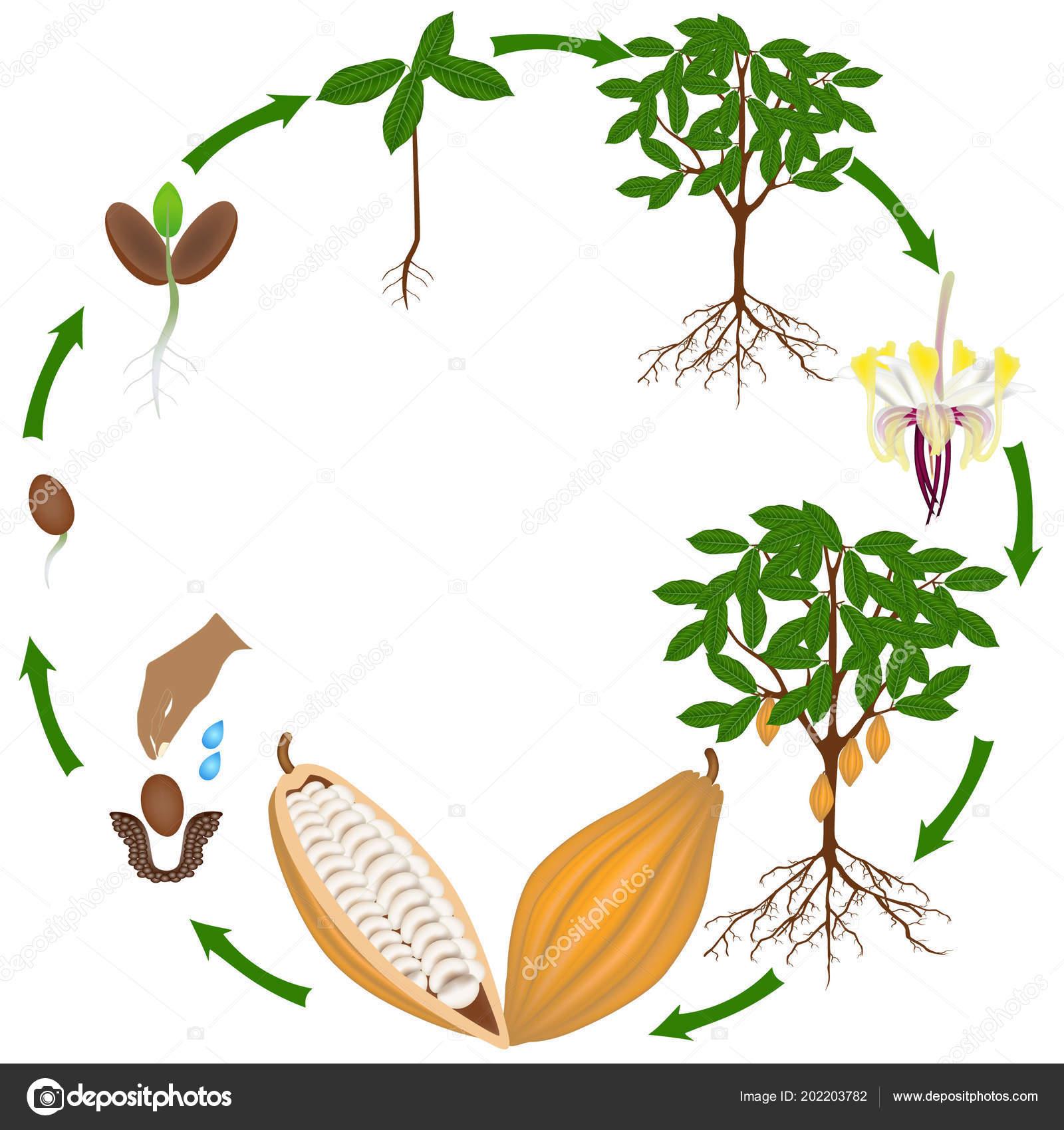 Background Tree White Life Cycle Cocoa Tree White Background Stock Vector C Zaqzaq81 202203782