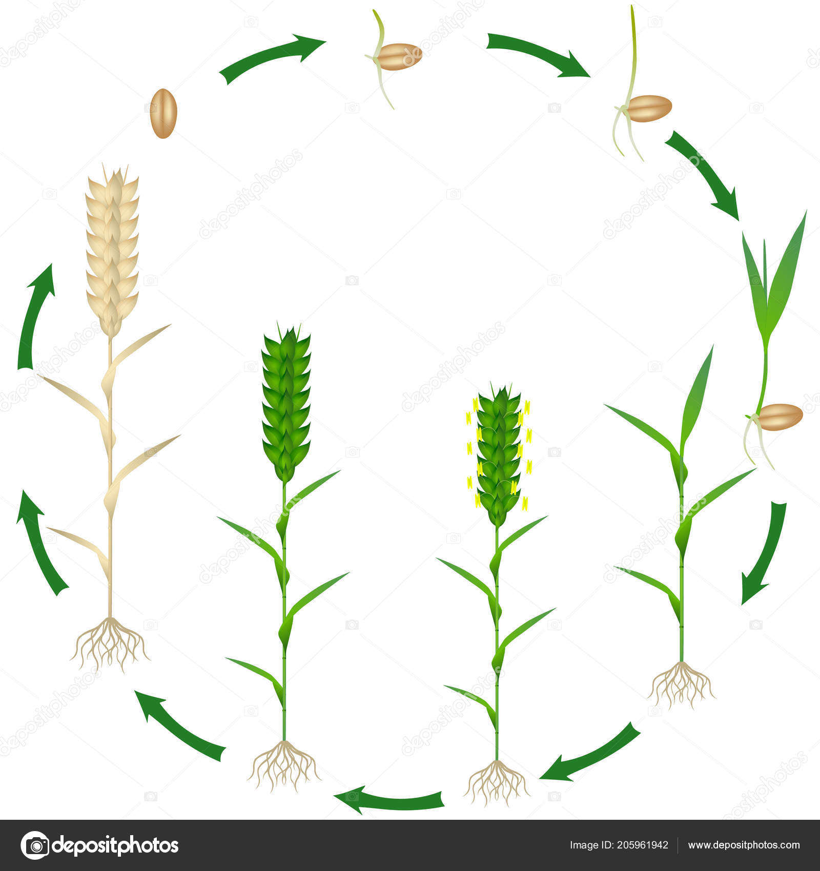 life cycle wheat plant plant white background stock vector