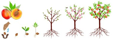 A growth cycle of a peach plant is isolated on a white background.