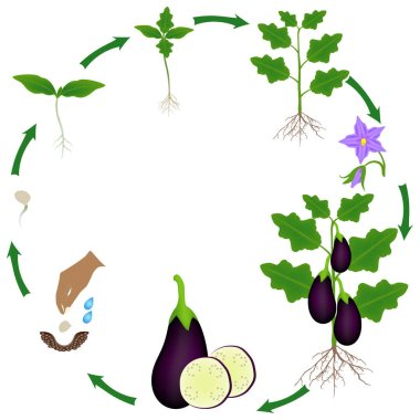 Life cycle of a eggplant plant on a white background.