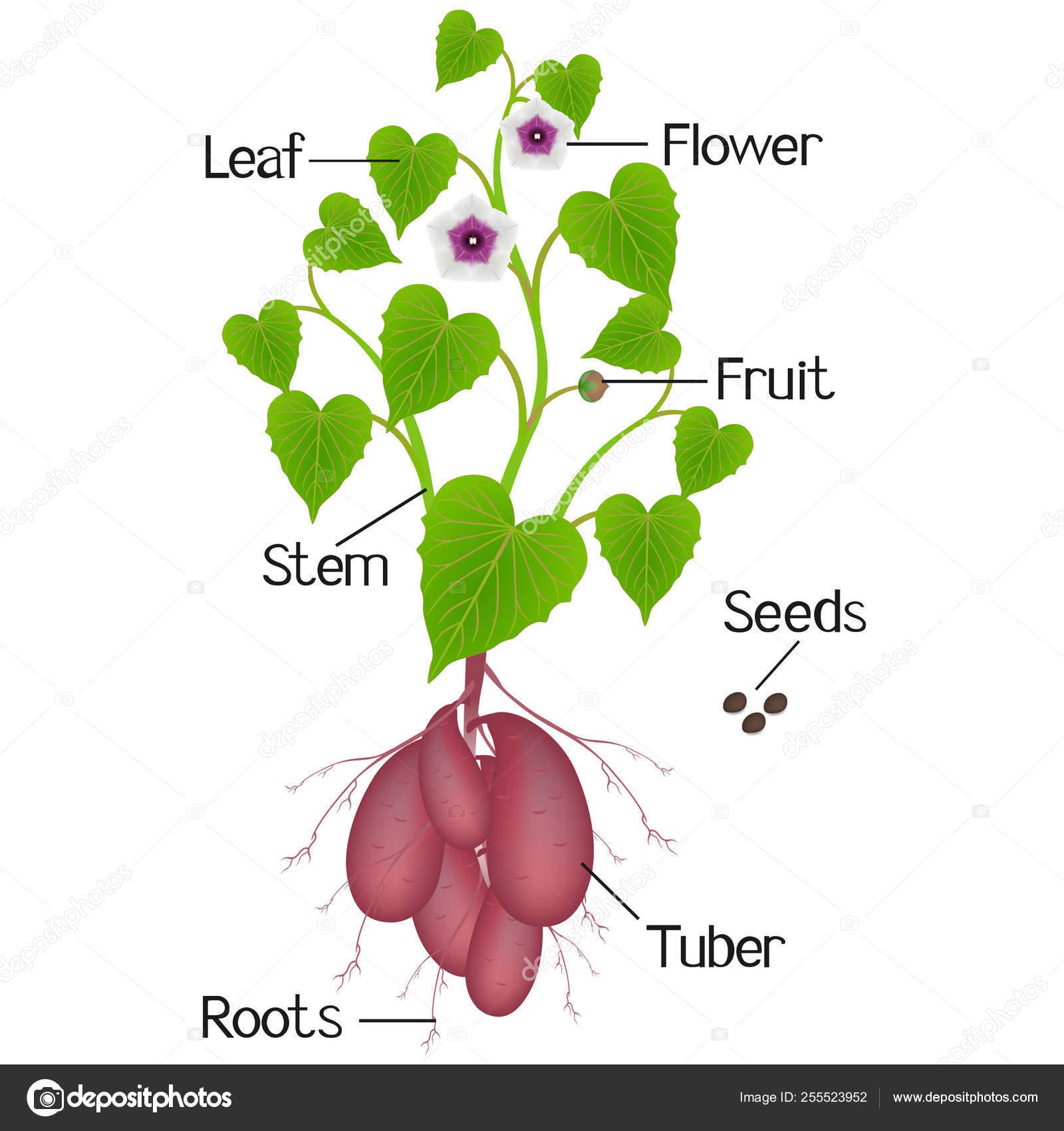 Parts Sweet Potato Plant White Background — Stock Vector ...