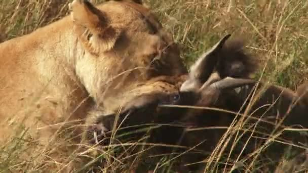 A close up of a lion suffocating a young wildebeest.