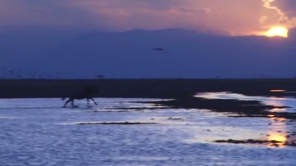 Egy GNÚ fut át a képet nicole rakta a vízben