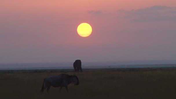 Egy GNÚ elsétál a lenyugvó nap, a háttérben egy elefánt