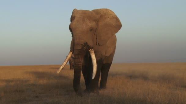 Zblízka velký slon krmení na suché trávy.