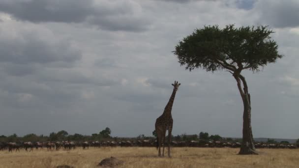 A giraffe resting under the shade of acacia while wildebeests passes by.