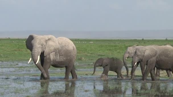 Matriach slon vede malou rodinu z bažiny