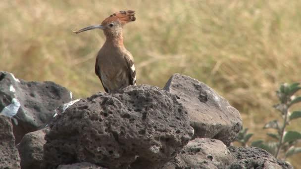 African hoopoe bird standing on a rock with food in the beak